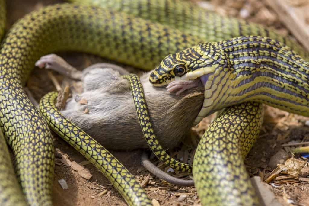 Grüne Schlange frisst Maus