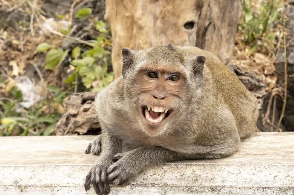 Affe der andere Affen lautstark herbeiruft - Khao Luang Höhle - Thailand