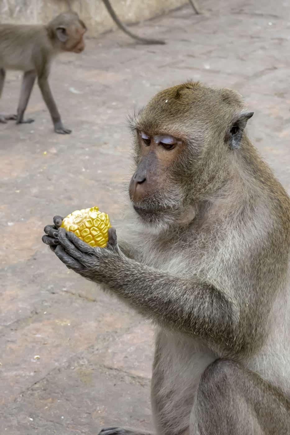 Affe begutachtet einen Maiskolben als Nahrung