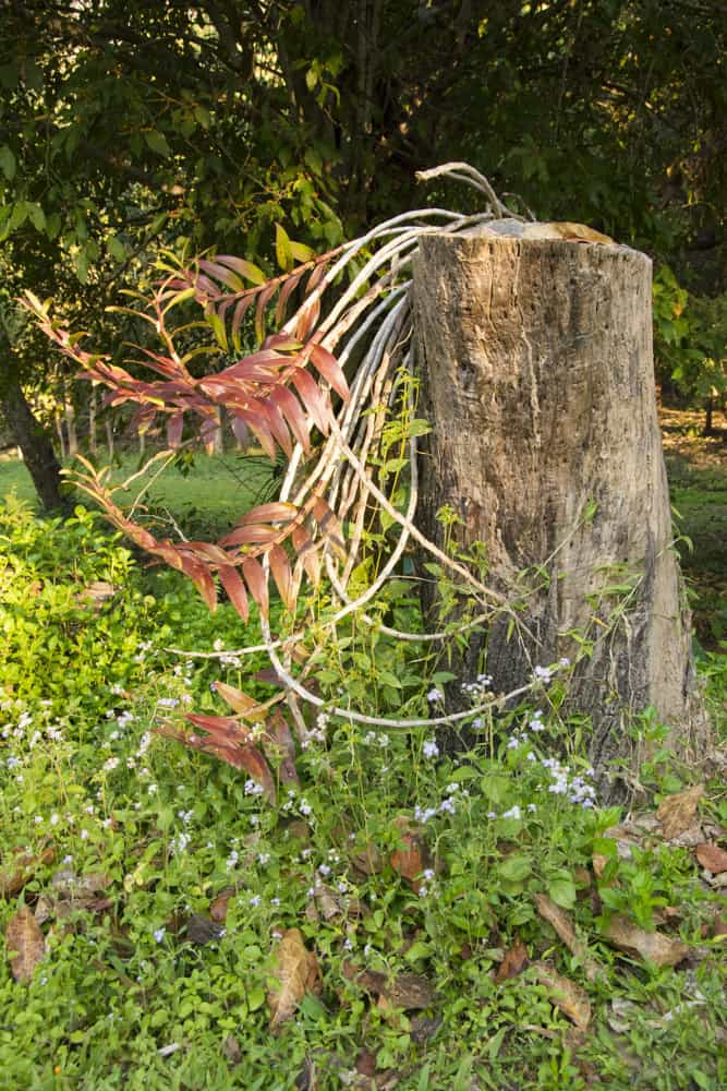 Baumstumpf mit merkwürdig geformten neuen Trieben