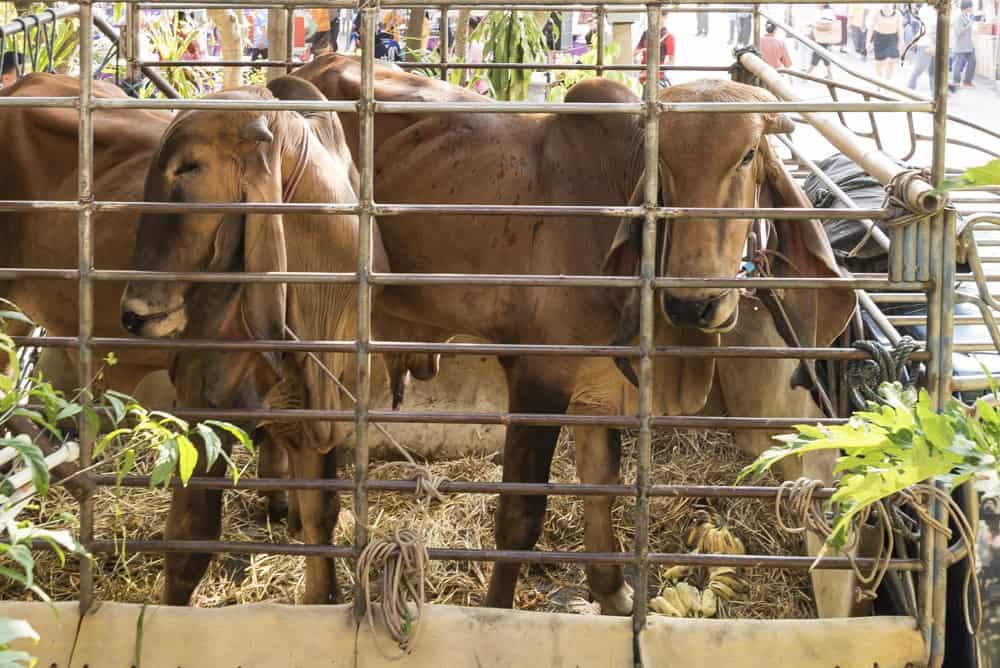 Zwei Rinder als Geburtstagsgeschenk für den Mönch