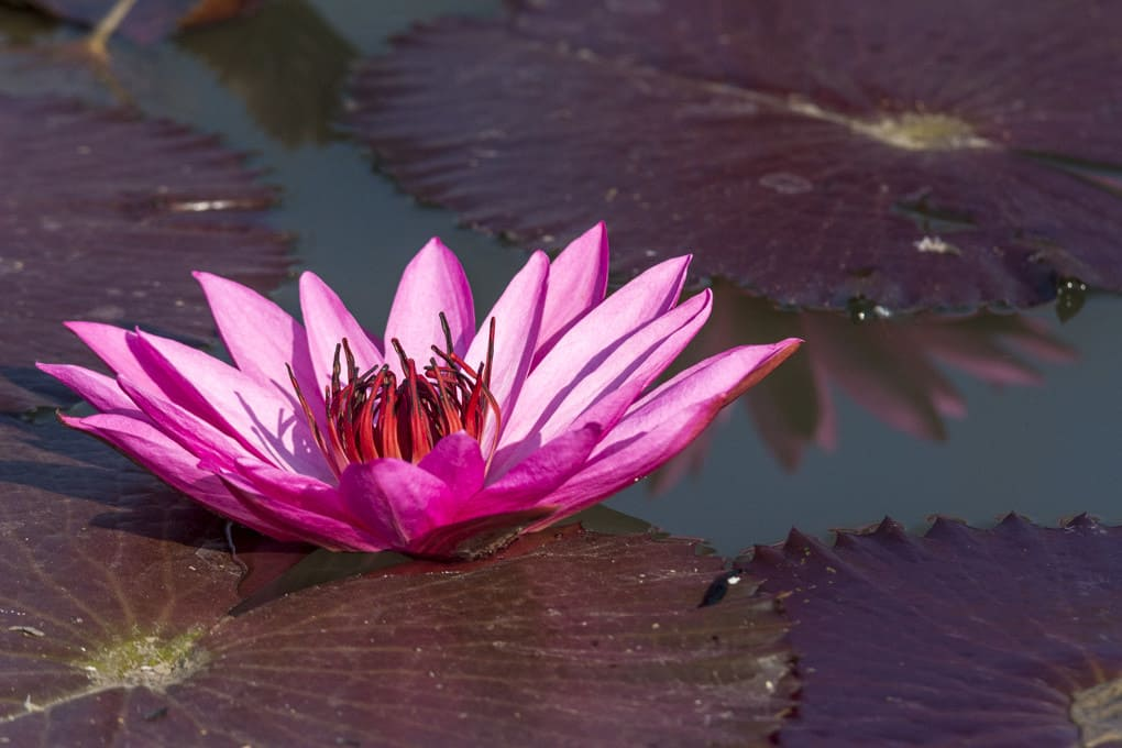 Blüte im schlammigen Teich nahe meines Hauses - Buddhas Blume