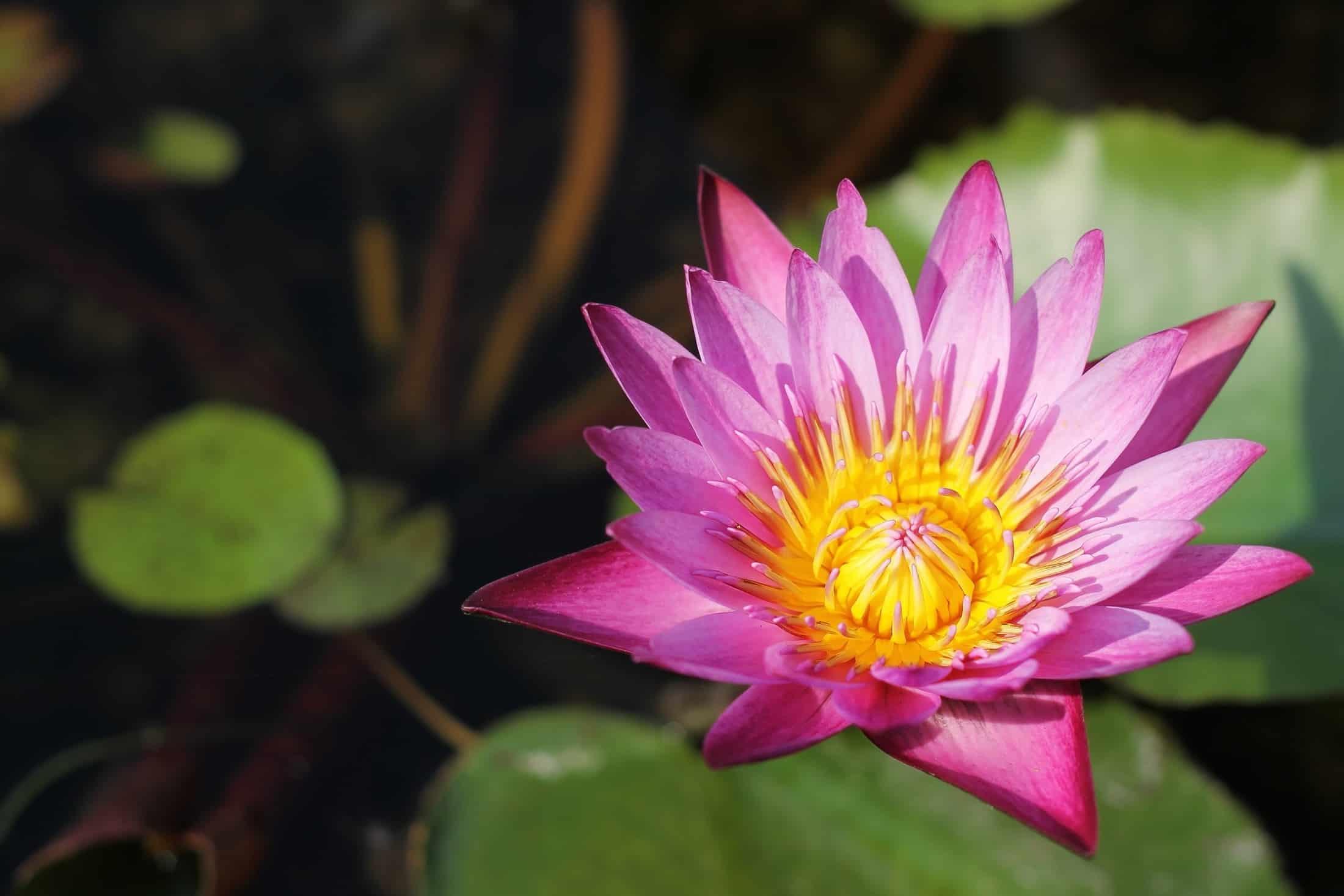 Wunderschöne Blüte mit leuchtenden Farben - Buddhas Blume