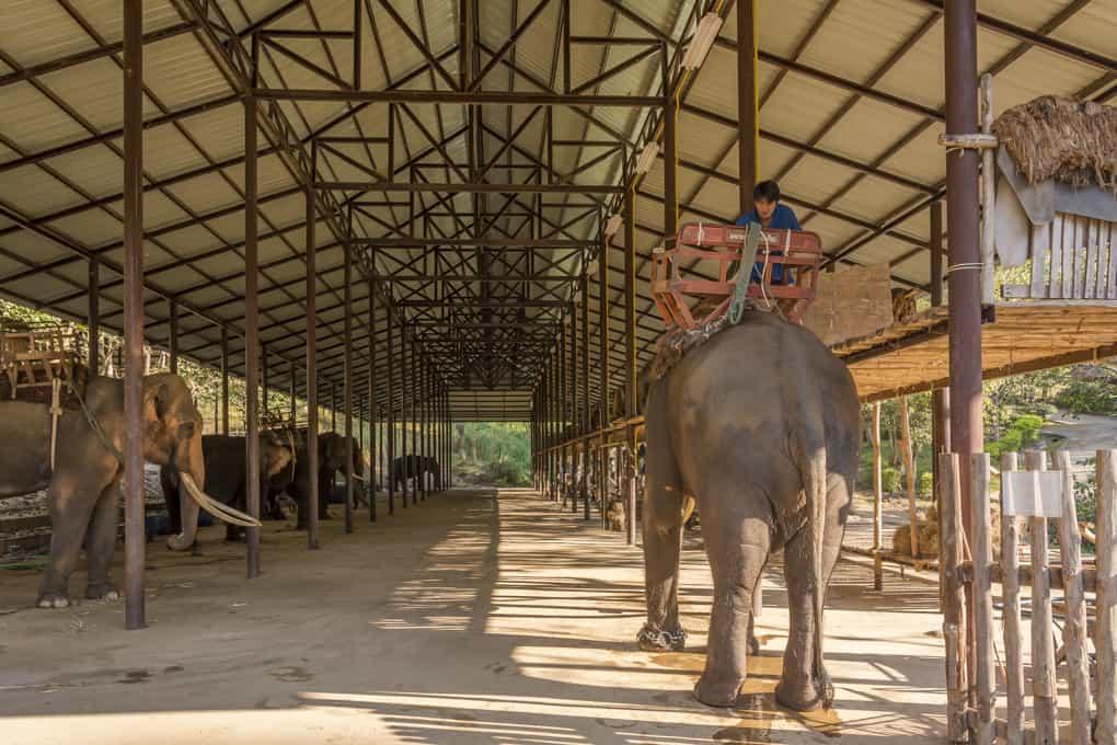 Das Aufsatteln des Elefanten mit dem Tragekorbs im Elephant Konsarvation Center Lampang