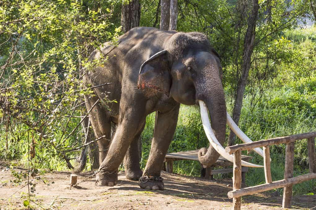 Asiatischer Elefant im Altersruhestand in der Auffangstation