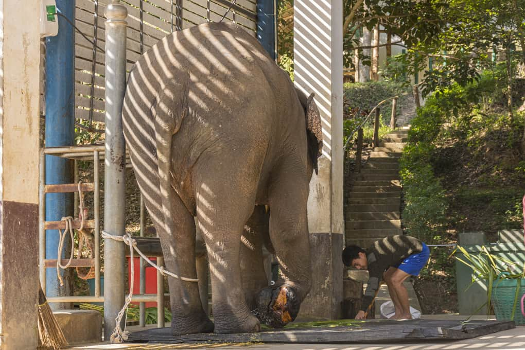 Ein Patient bei der morgendlichen Visite im Elephant Conservation Center