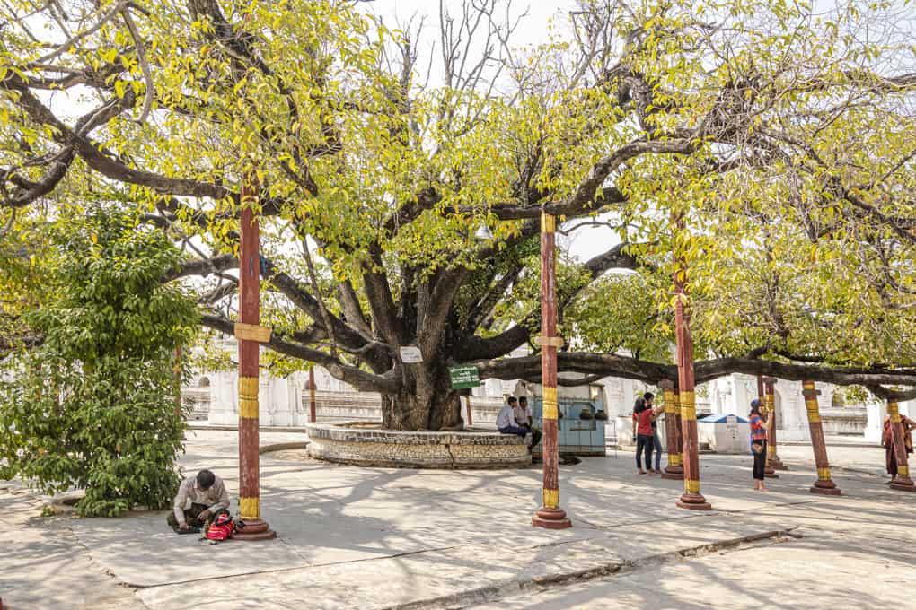 Sehr alter Baum in der Die Maha Lawka Marazein-Pagode im Zentrum der Kuthodaw-Pagode - Mandalay
