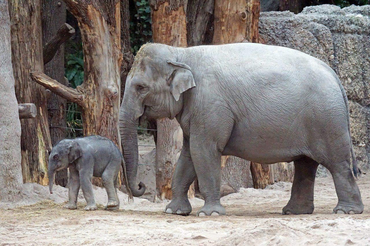 Asiatische Elefant mit Elefantenbaby