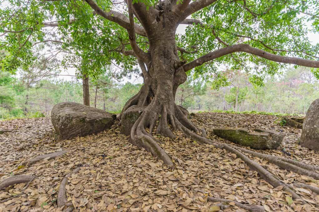 Der Baum sprengte im Laufe der Zeit den Steinkrug