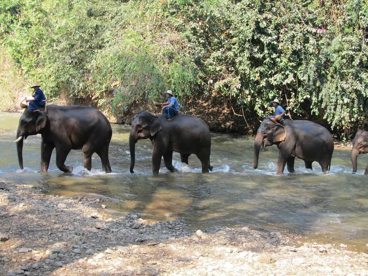 Elefanten mit ihren Mahuts